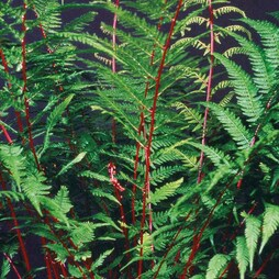 Fern 'Fantastic Lady In Red'