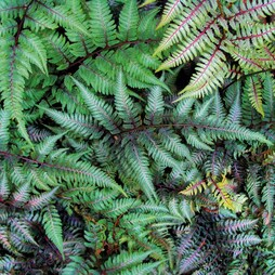 Fern 'Fantastic Ursula's Red'