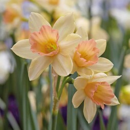 Narcissus 'Blushing Lady'