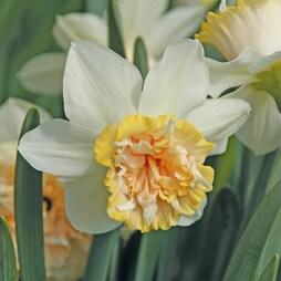 Narcissus 'Petit Four'