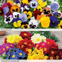 Pansy and Polyanthus Duo