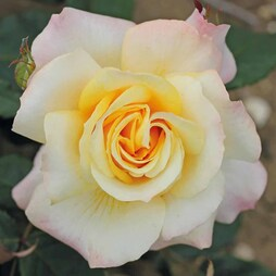 Rose 'Sunny Sky'