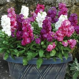 Stock 'Vintage' (Pre-Planted Pot)