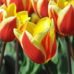 Tulip 'Hot Honey'