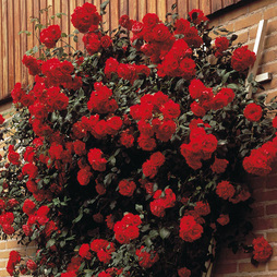 Rose 'Paul's Scarlet' (Climbing)