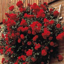 Rose 'Paul's Scarlet' (Climbing)
