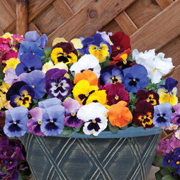Pansy 'Matrix™ Mixed' (Pre-Planted Pot)