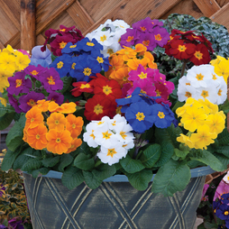 Polyanthus 'Crescendo® Mixed' F1 Hybrid (Pre-Planted Pot)