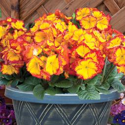 Polyanthus 'Firecracker' (Pre-Planted Pot)