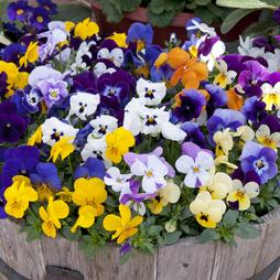 Viola 'Sorbet XP' (Pre-Planted Pot)
