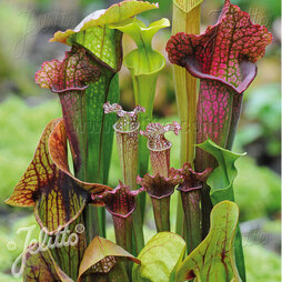 Sarracenia species 'New Hybrids Mixed'