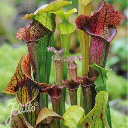 Sarracenia species 'New Hybrids Mixed'