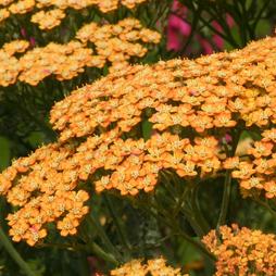 Achillea 'Terracotta' (Large Plant)