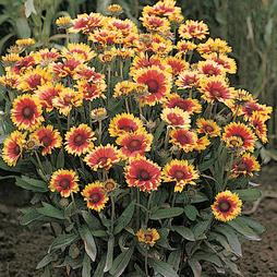 Gaillardia x grandiflora 'Kobold'