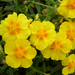 Helianthemum 'Ben Fhada'