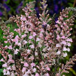 Linaria purpurea 'Canon Went'