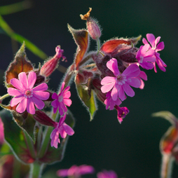 Lychnis viscaria 'Splendens Plena'
