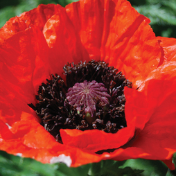Poppy 'Beauty of Livermere'