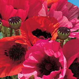 Poppy 'Fruit Punch'