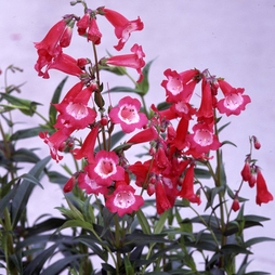 Penstemon 'Etna'