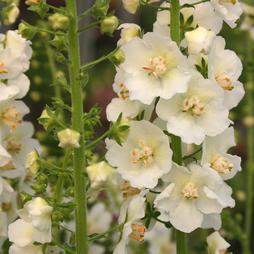 Verbascum phlomoides 'Snow Maiden'