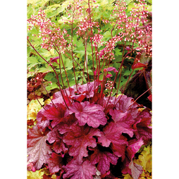Heuchera 'Berry Smoothie'