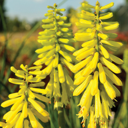 Red Hot Poker 'Lemon Popsicle'