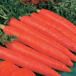 Carrot 'Red Samurai'