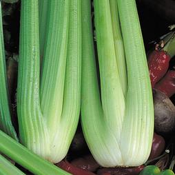 Celery 'Victoria' F1 Hybrid