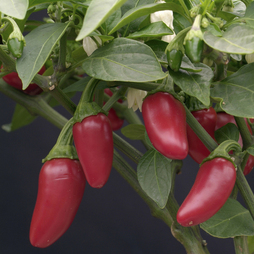 Chilli Pepper 'Jalapeno'
