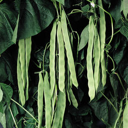Climbing Bean 'Pantheon'