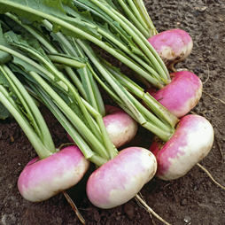 Turnip 'Milan Purple Top'