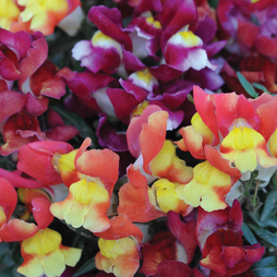 Antirrhinum majus 'Snappy Mix'