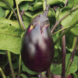 Aubergine 'Czech Early'