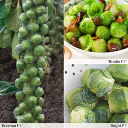 Brussels Sprout 'All Season Collection'