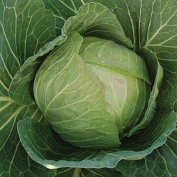 Cabbage 'Cabbice' F1 Hybrid
