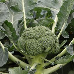 Broccoli 'Monclano' F1 Hybrid (Calabrese)