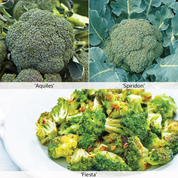 Broccoli 'All Season Collection' (Calabrese)