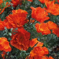 Californian Poppy 'Copper Swirl'