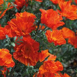 Californian Poppy 'Copper Swirl'
