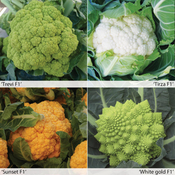Cauliflower 'Coloured Headed Mix'