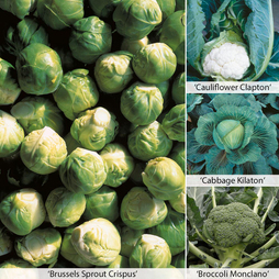 Clubroot Resistant Collection