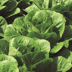 Lettuce 'Claremont' (Romaine/Cos)