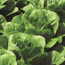 Lettuce 'Claremont' (Romaine/Cos)