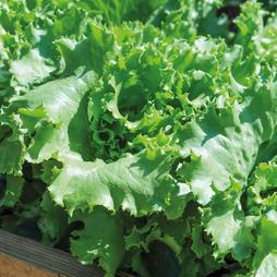 Lettuce 'Warpath'