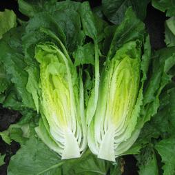 Lettuce 'Stryker'