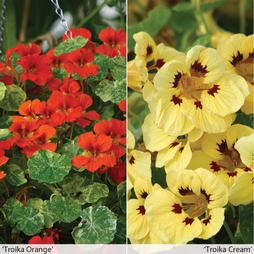 Nasturtium 'Troika Collection'