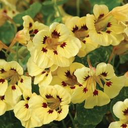 Nasturtium majus 'Cream Troika'