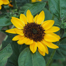 Sunflower 'Tanja' F1 Hybrid