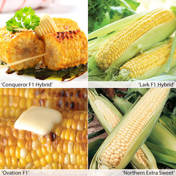 Sweetcorn 'Summer/Autumn Season'